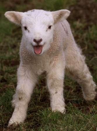 Nära jul (�-arnas får och små lamm)