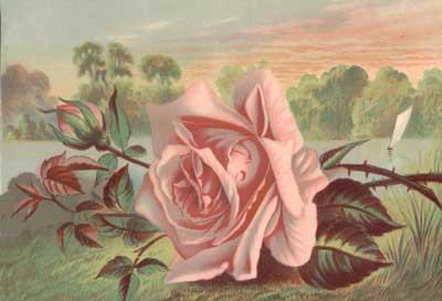 Min älskling, du är som en ros